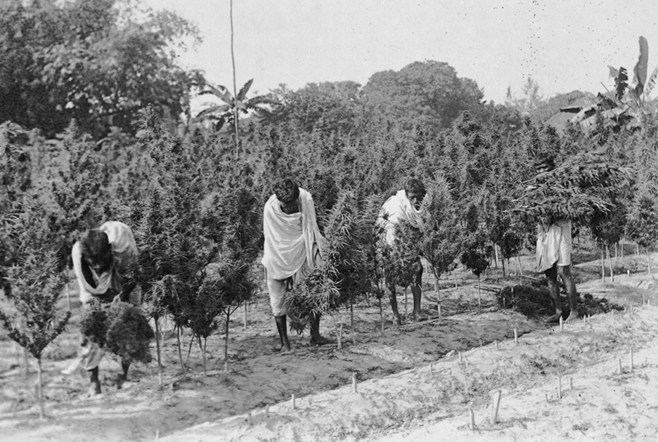 Gathering the Ganja Crop